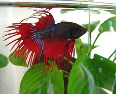 Japanese Fighting Fish in Tank