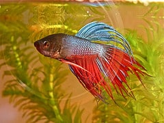 Colorful Japanese Fighting Fish