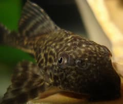 Pleco Fish can be Betta Tank Mates
