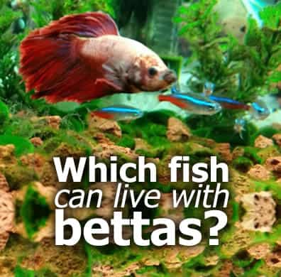 share what specific fish can live with bettas world