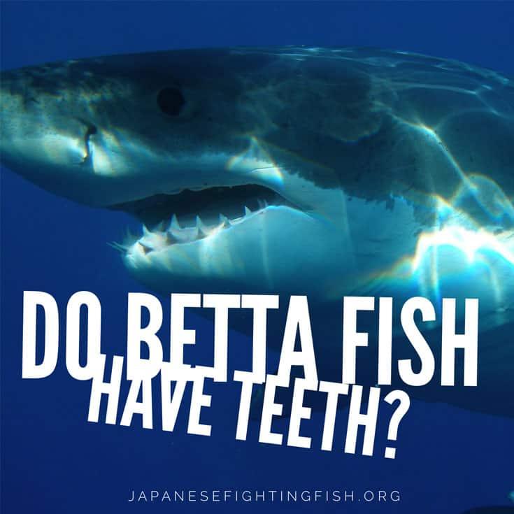 do bettas have teeth?
