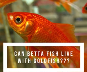 Guides For Betta Fish Care Japanese Fighting Fish Blog