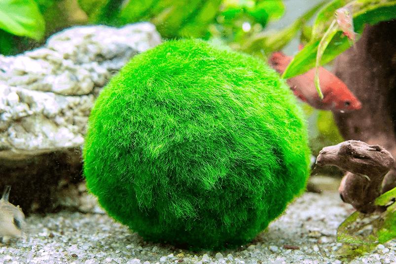 Top 5 live plants for a betta fish tank betta fish care for Live plants for betta fish