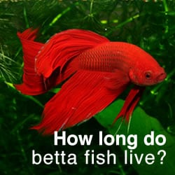 how long do betta fish live tips to increase your