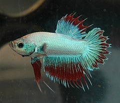 Pet Betta Fish