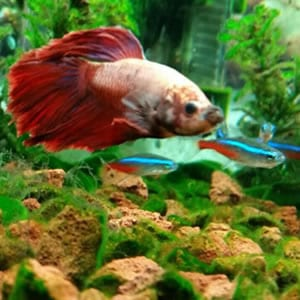 Which fish can live with bettas - JapaneseFightingFish.org