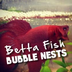 Betta Fish Bubble Nests