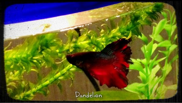 Betta fish names what should i call my betta fish for Female betta fish names