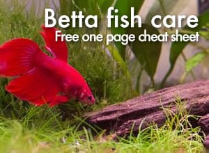 The ultimate one page guide to betta fish care for Betta fish natural environment