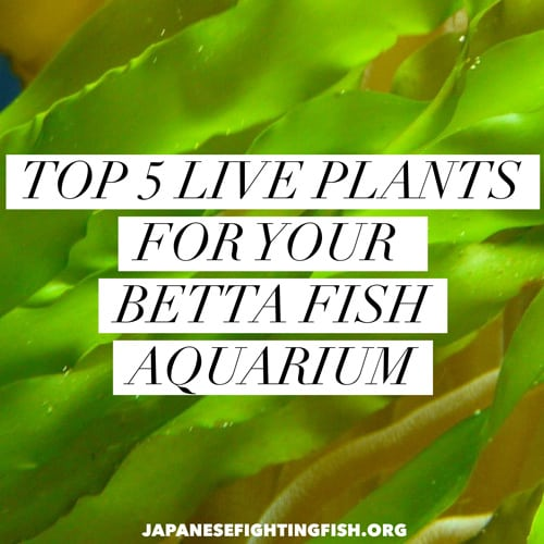 Top 5 live plants for a betta fish tank betta fish care for Caring for a betta fish in a bowl