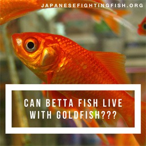 Can betta fish live with goldfish betta fish care articles for What fish can live with goldfish