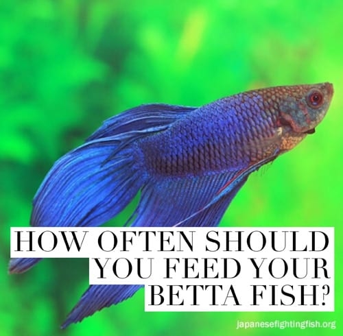 Betta fish feeding instructions best betta fish food for How to feed fish