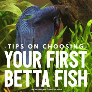 Tips on choosing a betta fish