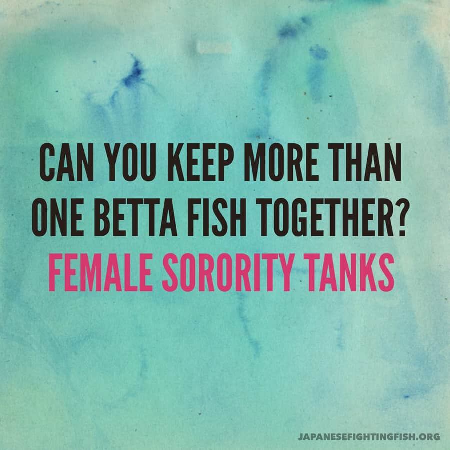 Female Betta Fish Sorority Tanks Keeping More Than One
