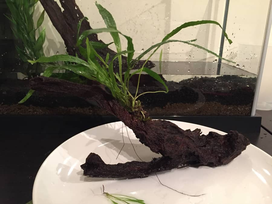 Adding live plant to driftwood