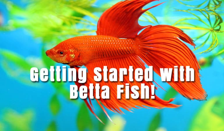 Getting started with betta fish betta fish care for How long can a betta fish live