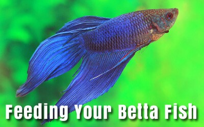 Feeding Betta Fish