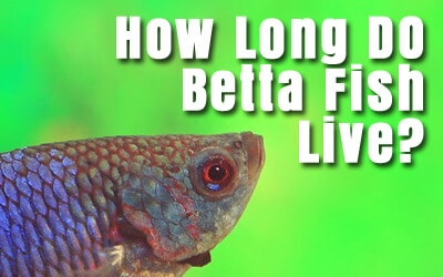 Betta fish care guides articles japanese fighting fish for How long can a betta fish live