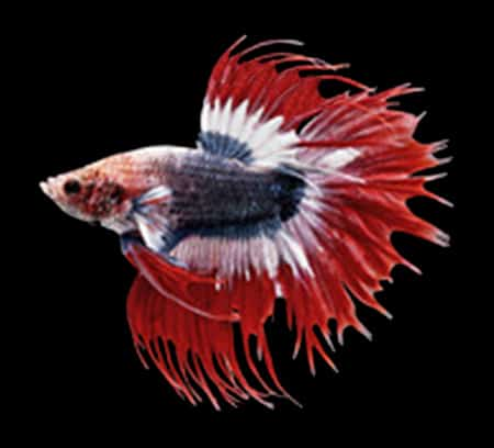 Combtail - betta fish tail types