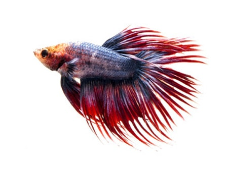 Crowntail - betta fish tail types