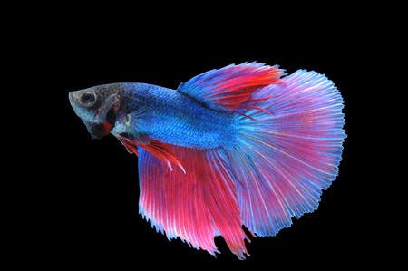 Delta Tail - Betta Fish Tail Types