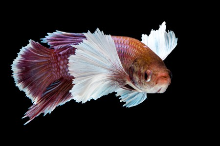 dumbo ear betta fish - betta fish tail types
