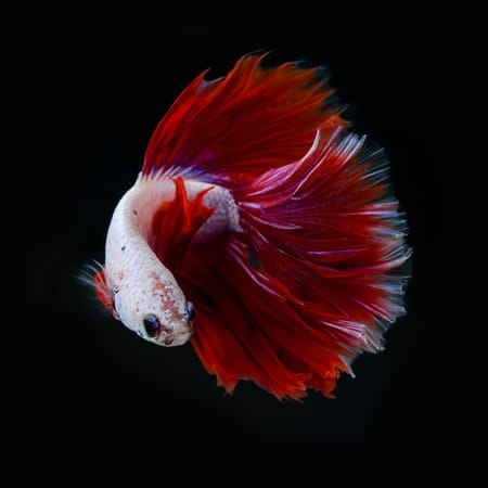 Betta fish tail types betta fish care for Koi fish tail