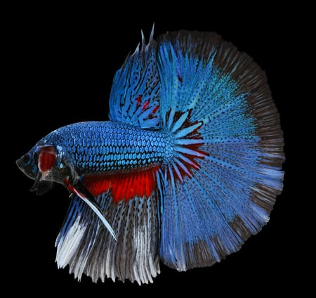 halfmoon - betta fish tail types