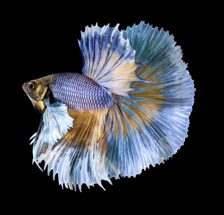Over Halfmoon - Betta fish tail types