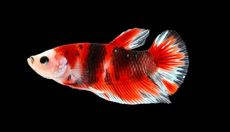 plakat betta fish - short finned betta fish - betta fish tail types
