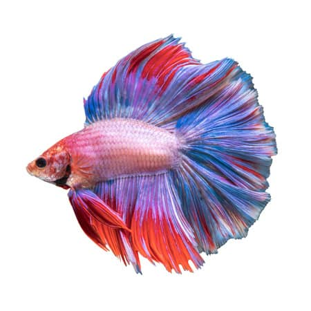 Rose tail betta fish