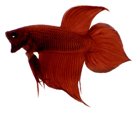 Spade Tail - betta fish tail types