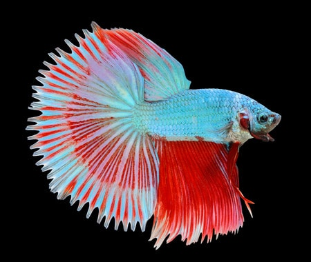 Sun tail - betta fish tail types