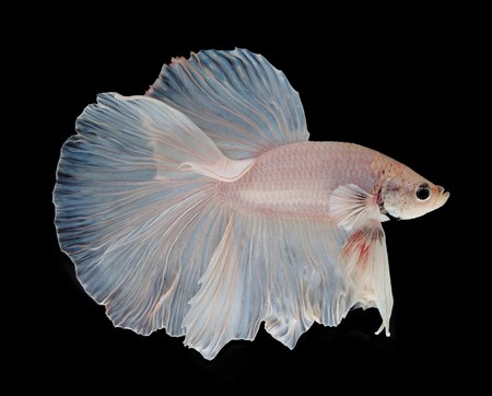 Super delta tail - betta fish tail types