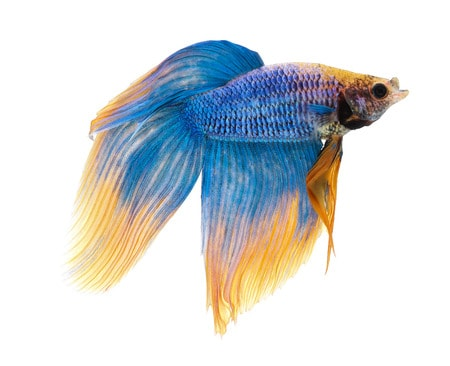 Betta fish tail types betta fish care for Different types of betta fish