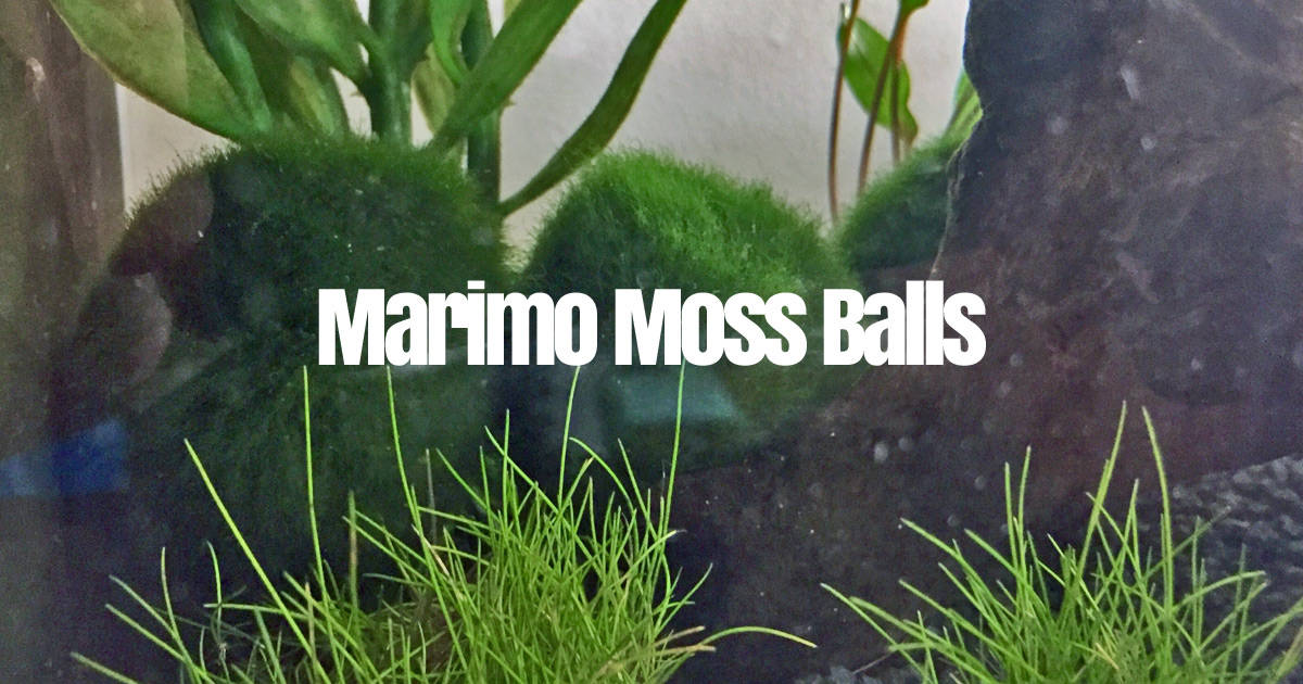 Marimo Moss Ball Care Guide How To Take Care What Are