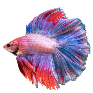 Betta fish book everything you need to raise the for How often do i feed my betta fish