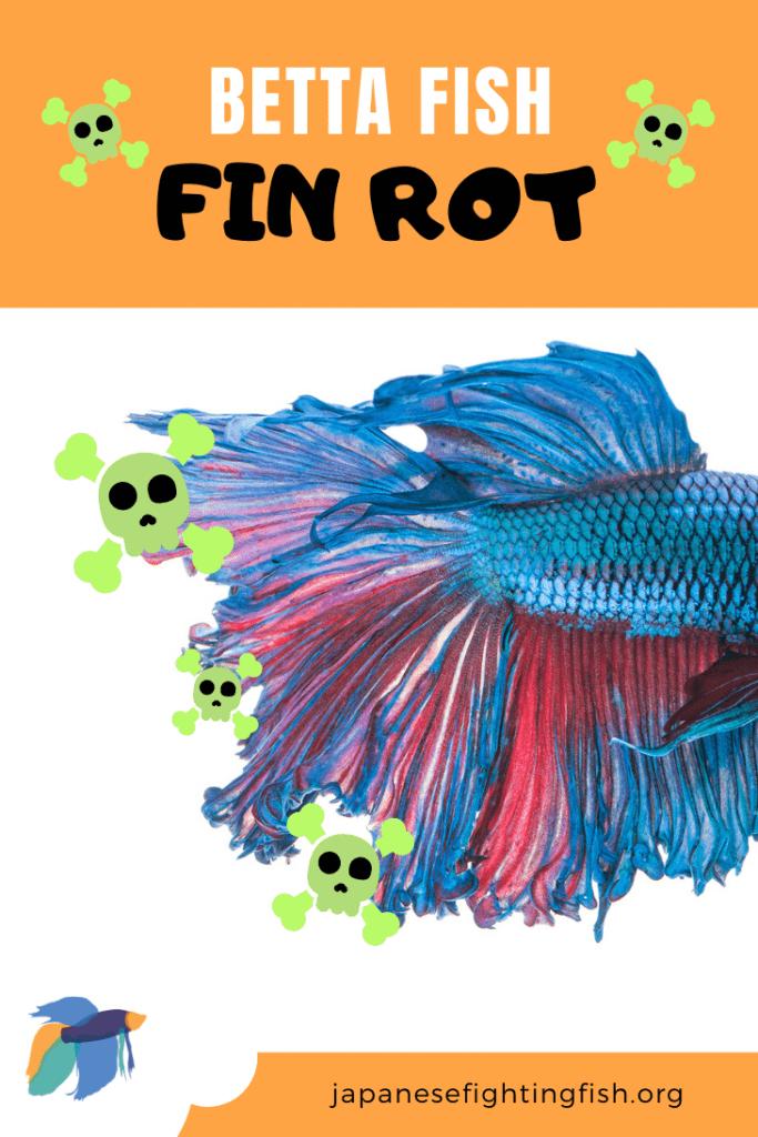 Betta Fish Fin Rot - Betta Fish Diseases - JapaneseFightingFish.org