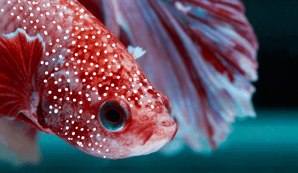 Ich or White Spot in Betta Fish