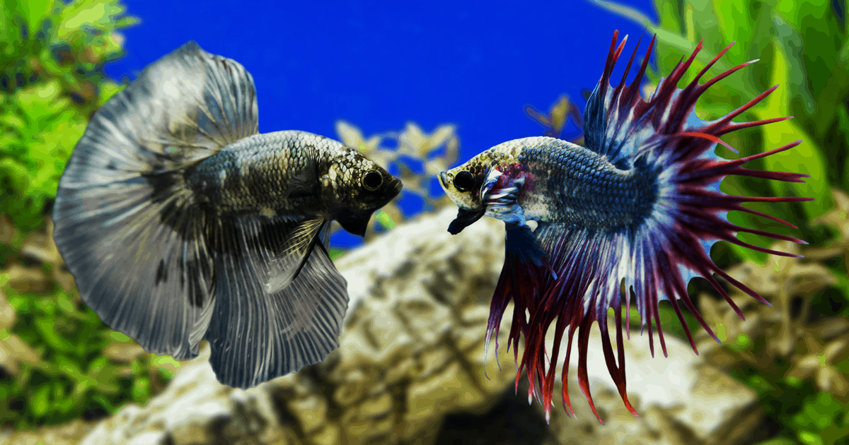 Betta Fish Fights - Everything you need to know ...
