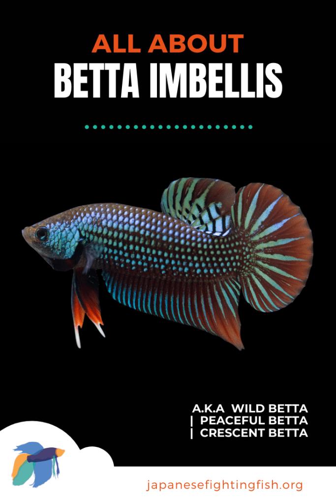 Betta Imbellis - All About the Peaceful Betta a.k.a Wild Betta, Crescent Betta - JapaneseFightingFish.org