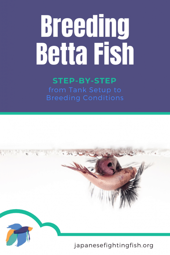 Breeding Betta Fish: Step-by-Step - from Tank Setup to Breeding Conditions - JapaneseFightingFish.org