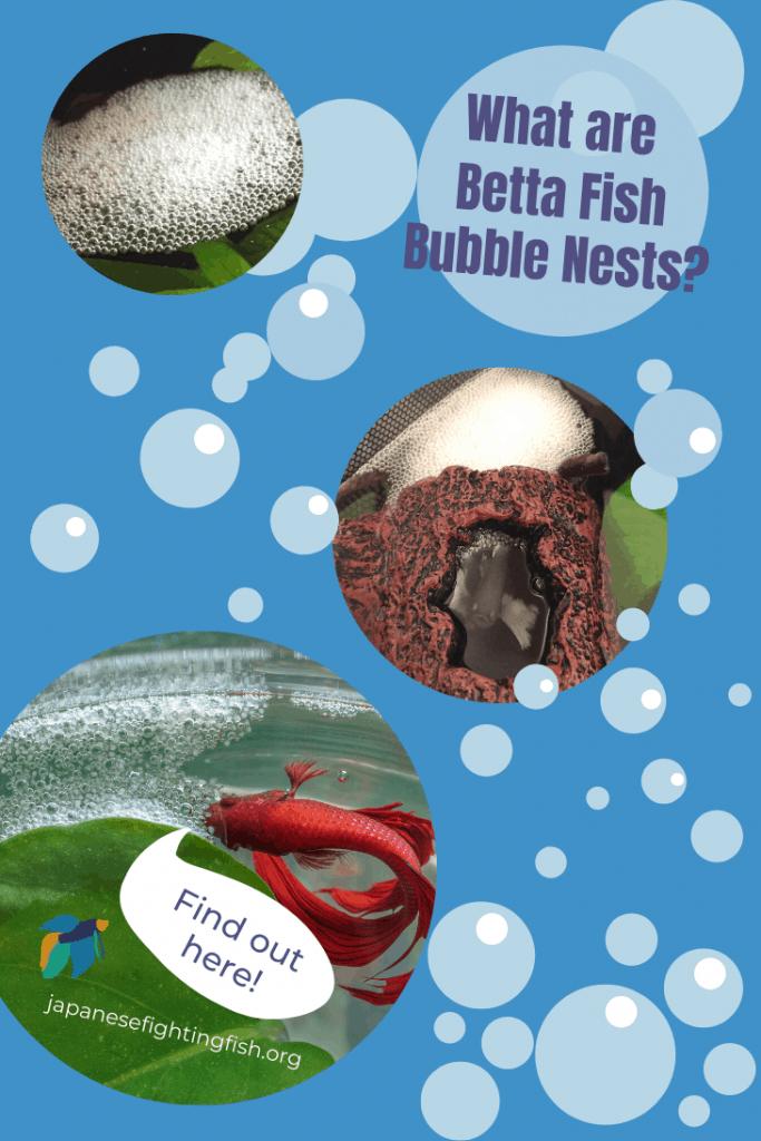Why do Betta Fish Build Bubble Nests - JapaneseFightingFish.org