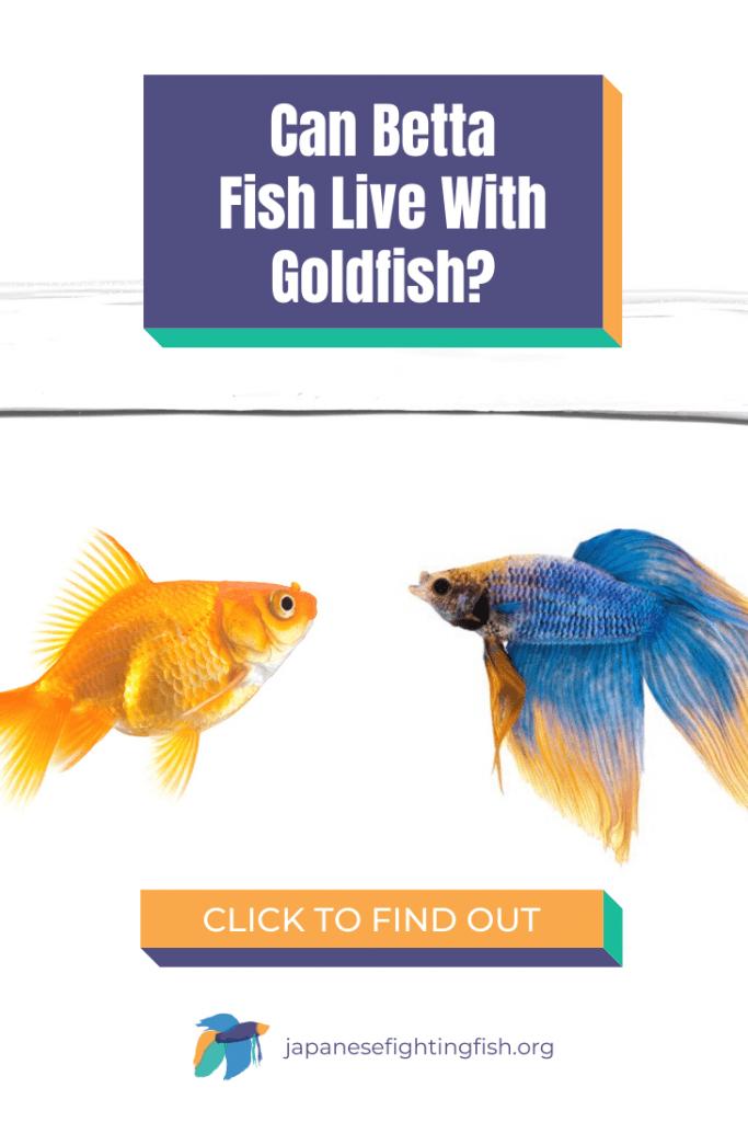 Can Betta Fish Live With Goldfish - JapaneseFightingFish.org