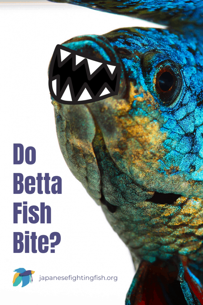 Do Betta Fish Bite - Betta Fish Have Teeth - JapaneseFightingFish.org