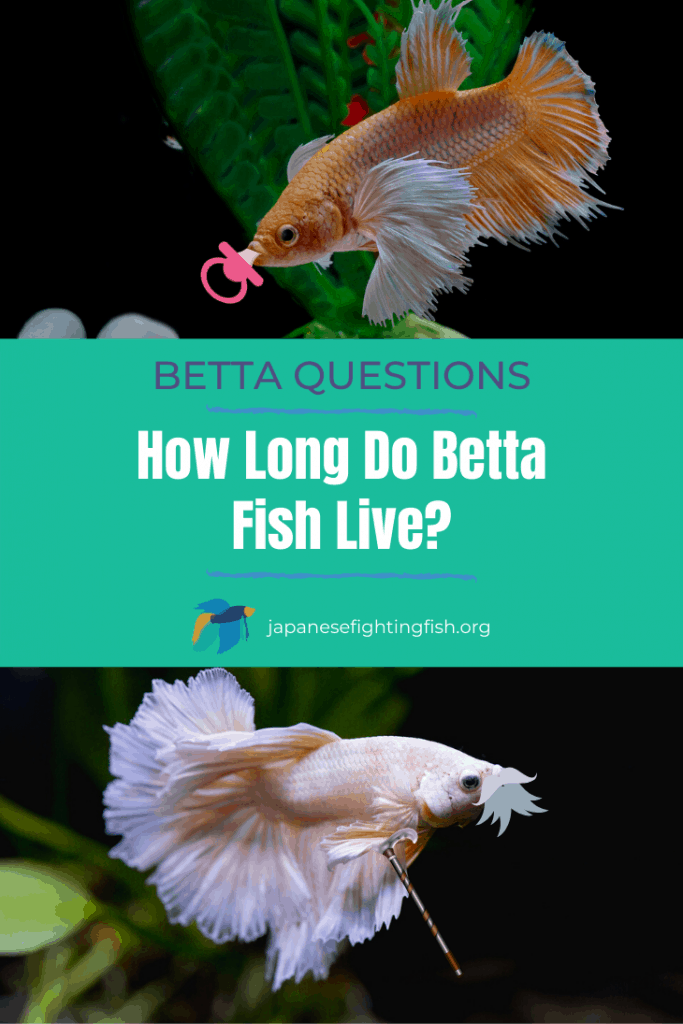 How Long do Betta Fish Live - JapaneseFightingFish.org