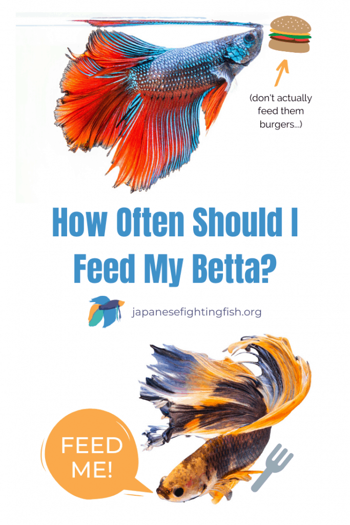How Often Should I Feed My Betta - Betta Fish Feeding Instructions - JapaneseFightingFish.org