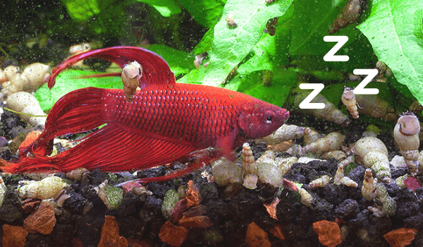 Do Betta Fish Sleep Articles And Guides For Betta Fish Owners