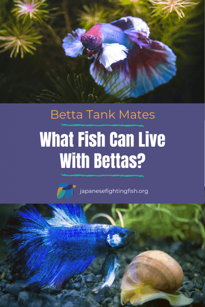 What Fish Can Live With Bettas - JapaneseFightingFish.org
