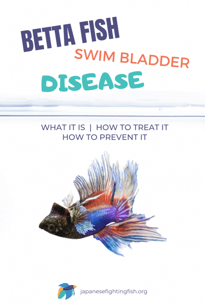 Betta Fish Swim Bladder Disease - Symptoms and Treatment - JapaneseFightingFish.org